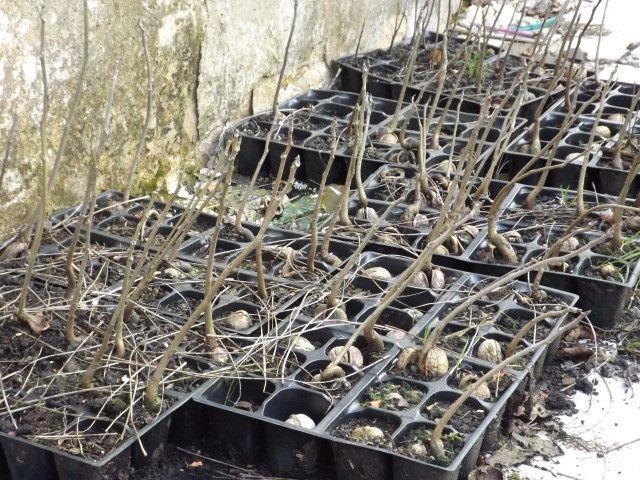 Dit zijn de walnootboompjes van de noten van 2013. Het zijn de laatsten die nog geplant moeten worden. Er zijn inmiddels als 200 boompjes geplant, allemaal 5 meter van elkaar vandaan.