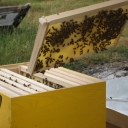 Bijenproject-Kroatie8405-leeuwenbende