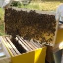 Bijenproject-Kroatie8418-leeuwenbende