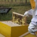 Bijenproject-Kroatie8401-leeuwenbende