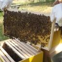 Bijenproject-Kroatie8419-leeuwenbende